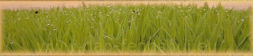 Dážď pre obilie (Gu Yu)