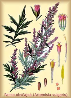 Palina obyčajná - Artemisia vulgaris