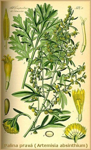 Palina pravá_Artemisia_absinthium